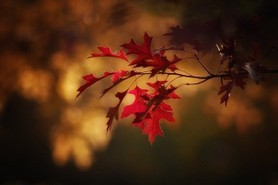 maple-leaves-2895335_640.jpg